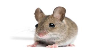 Anak Tikus