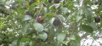 Minipflaumen am Baum