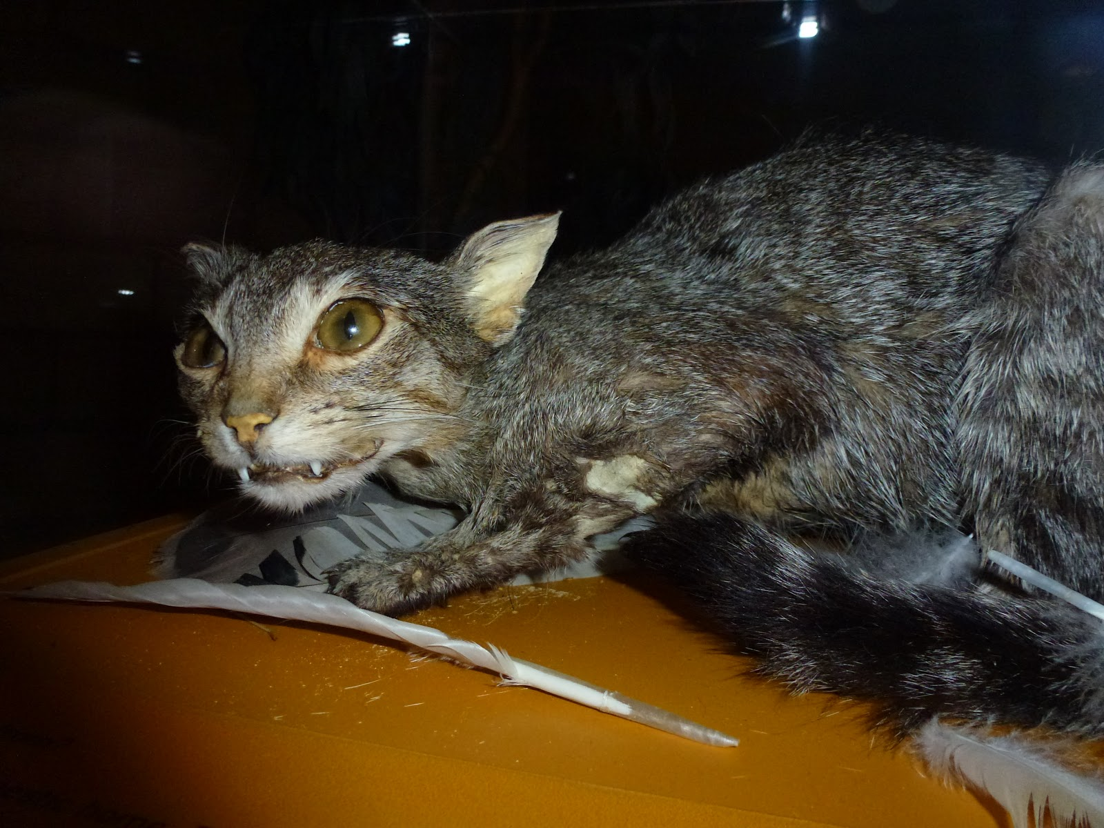 sedating a wild cat Regard to disease, conservation and genetics of the european wildcat (felis silvestris) moderate sedation occurred within 10-15 min, which allowed a full clinical.