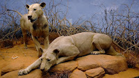 Tsavo Man-Eaters - Lions In Chicago Museum