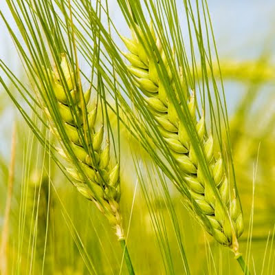 Green wheat download free wallpapers for Apple iPad