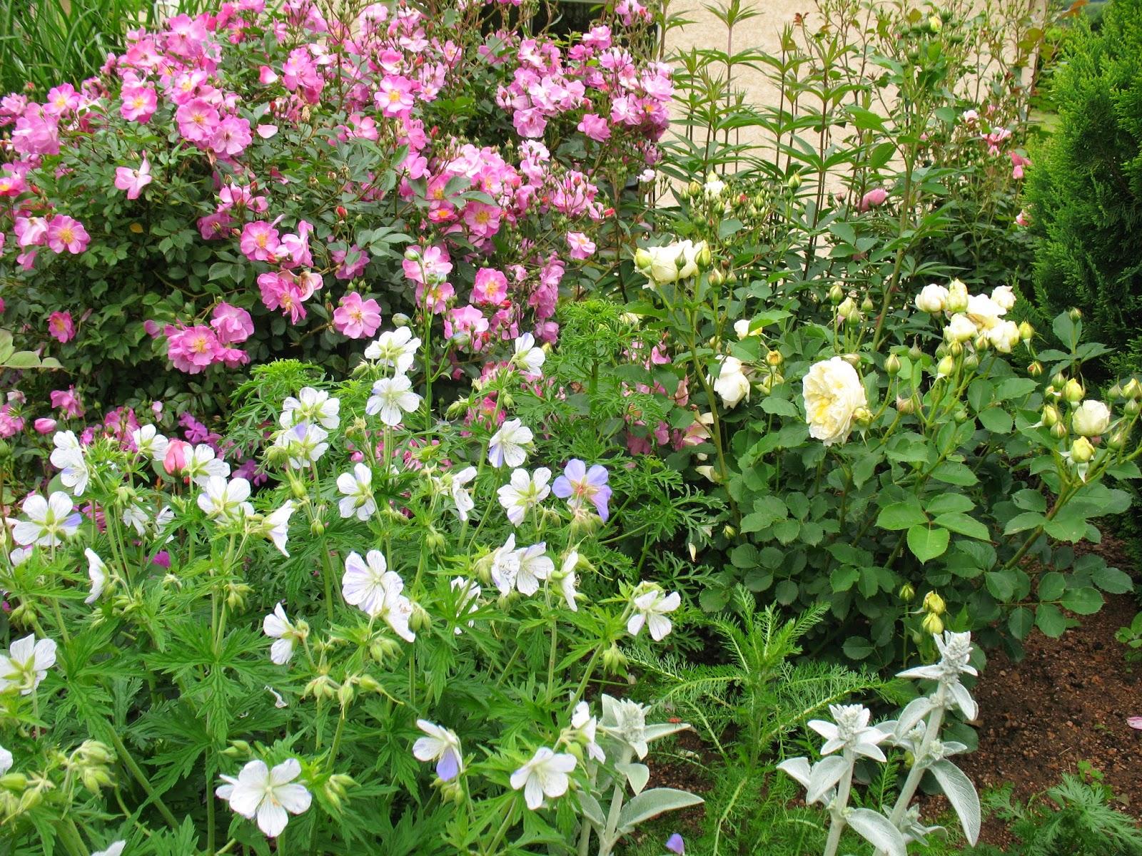 Roses du jardin ch neland division des g raniums vivaces - Beau jardin rose and geranium ...