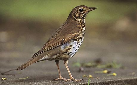 Garden birds of britain, Garden birds, English garden birds pictures ...  Birds
