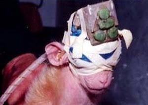 Figura 8. Macaco Privado da Visão para Experimentos