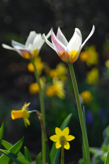Tulip 'Ice Stick' with Narcissus 'Tete-a-tete'