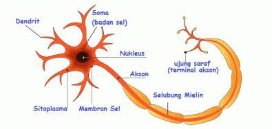 Pengertian Struktur Sel Saraf dan Bagian-bagian Neuron beserta Fungsinya
