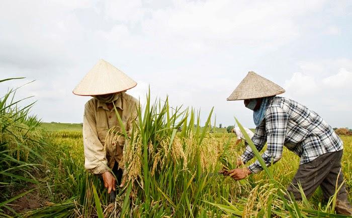 Le riz en Thaïlande - récolte dans une rizière