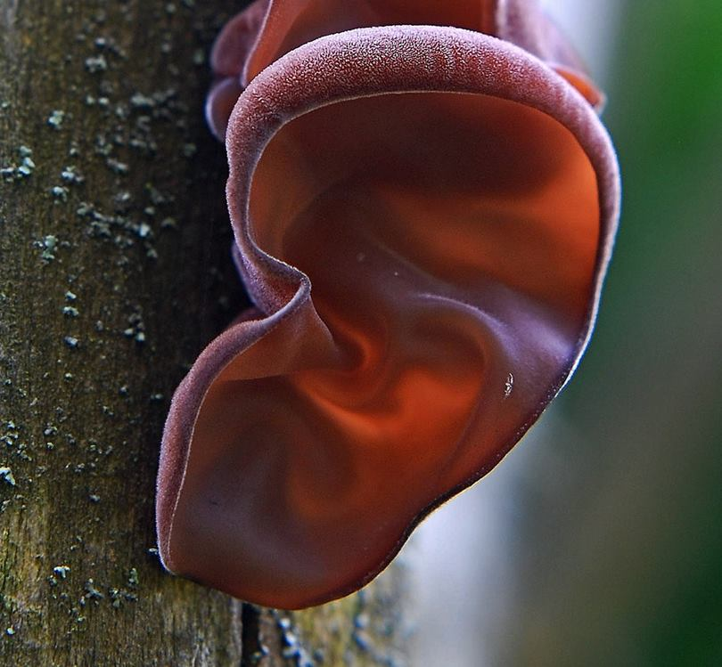 The Judas's ear, Auriculariales Fungus
