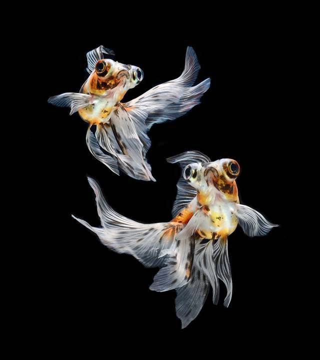 Colorful fish photography of Siamese Fighting Fish by Visarute Angkatavanich