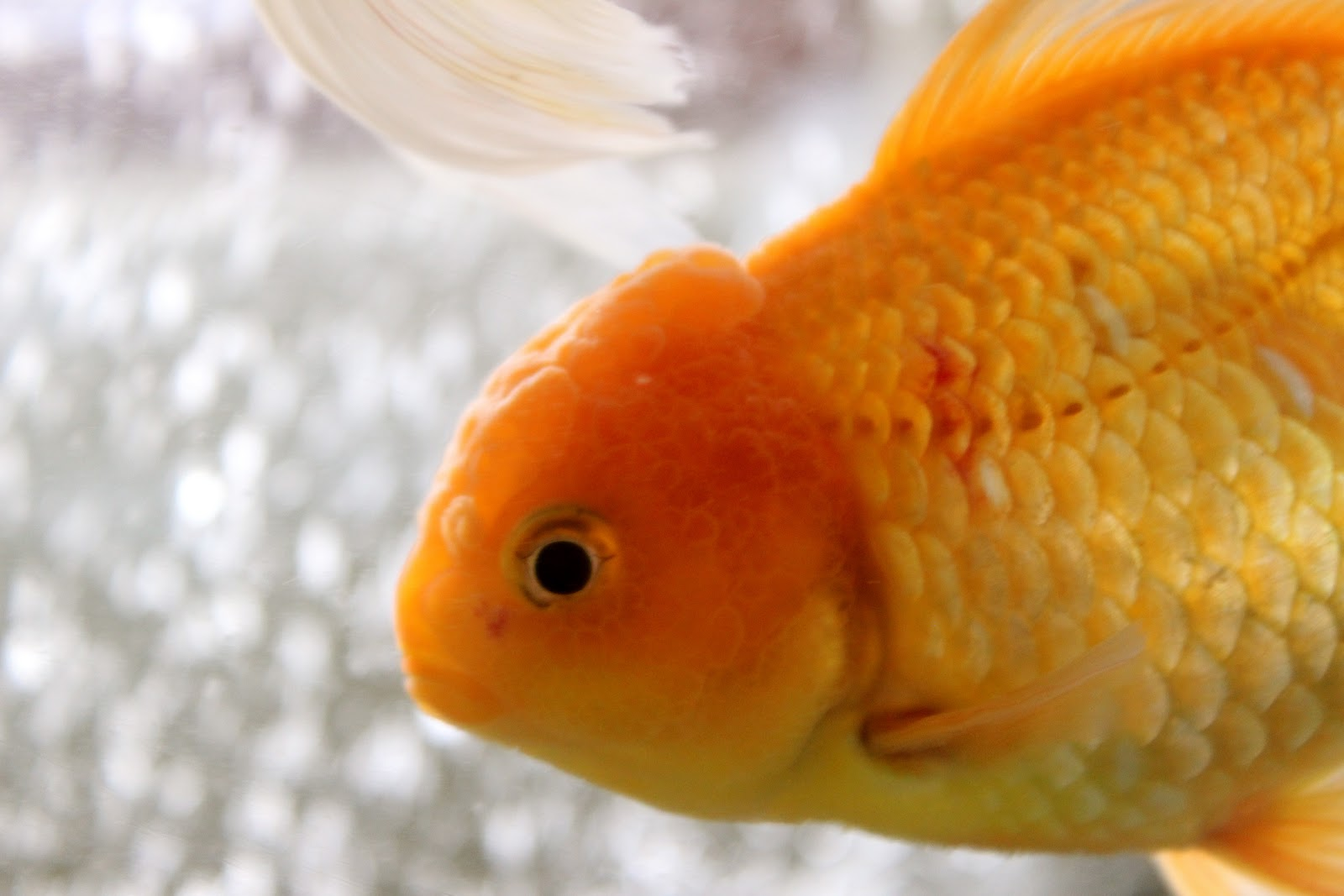 Cutest goldfish for Gold fish names