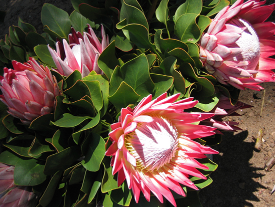 Safari Fusion blog | Happy Mother's Day to all the Mums & Moms around the world | South African King Proteas