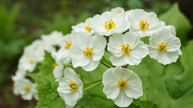 Diphylleia Grayi - Flor de Cristal