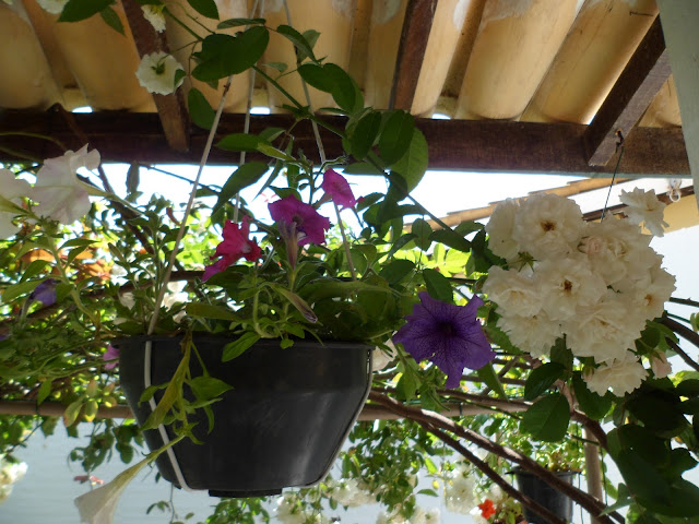 meu jardim - petúnias