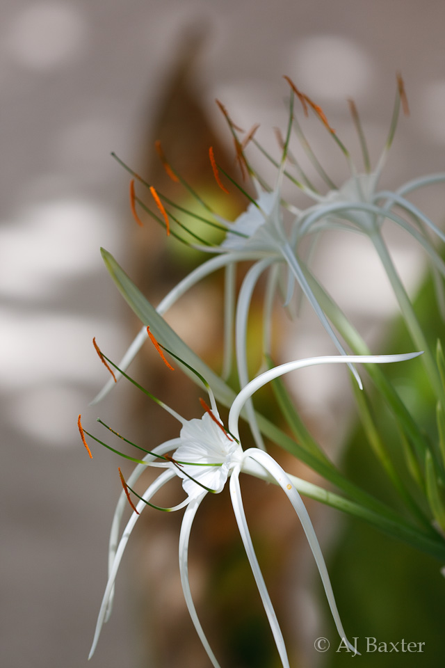 flower image: White Spider Lily  Lycoris albiflora