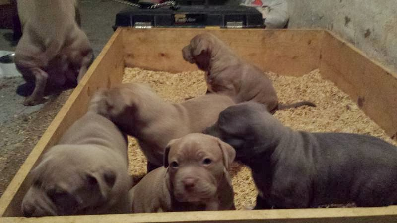 Abkc Adba Pitbull Puppy 4 Weeks Old Puppies For Sale