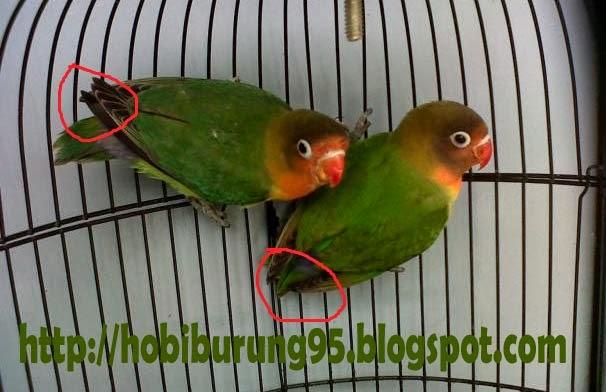 Cara Memelihara Burung dan Ikan | Ciri - Ciri Jantan dan Betina Burung Lovebird