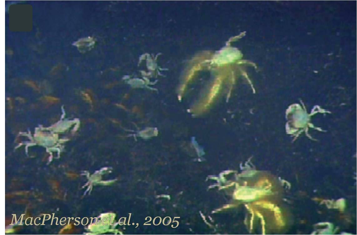 Snow Crab Love The Abominable Snowcrab
