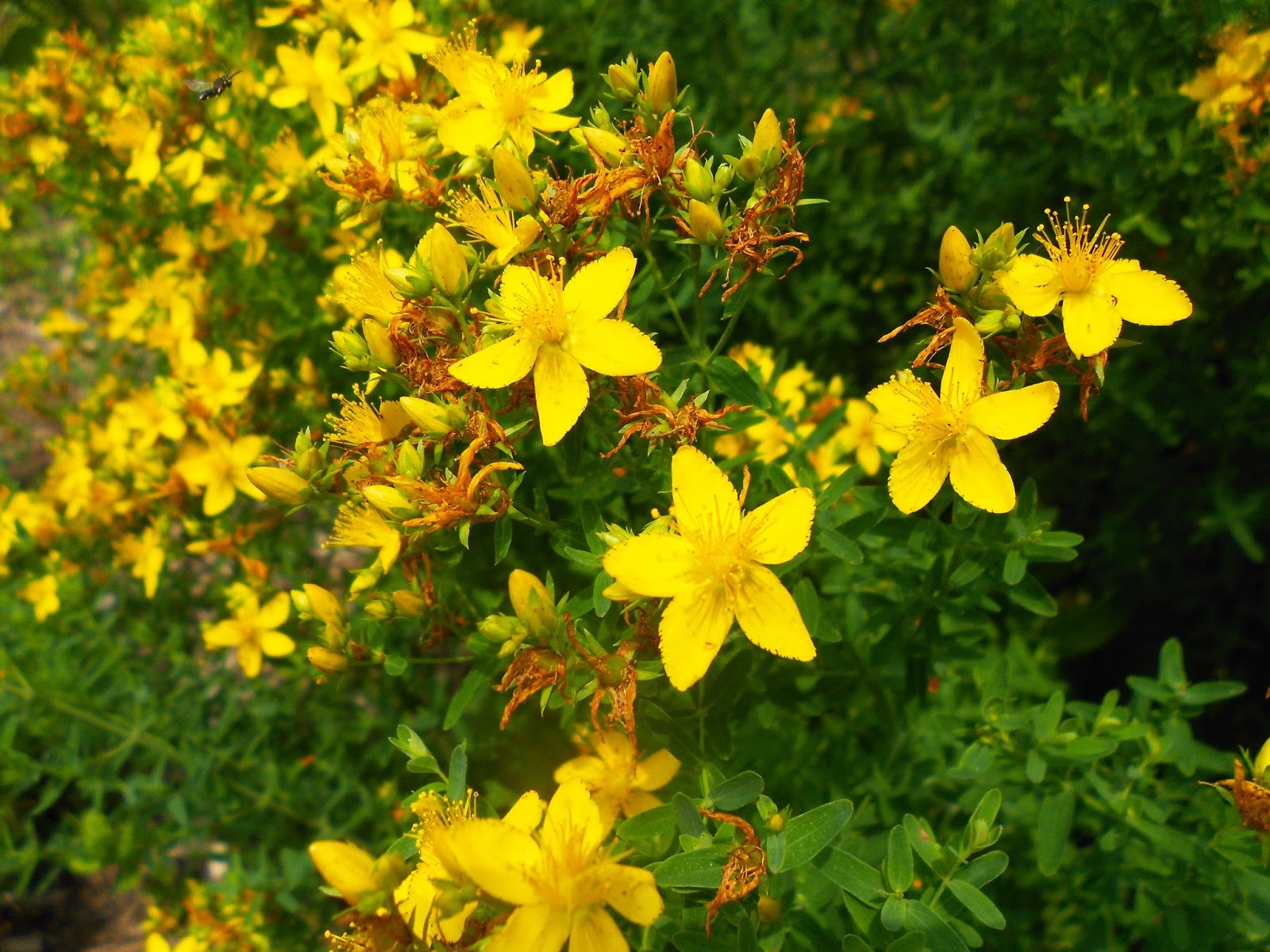 st johns wort and breast feeding