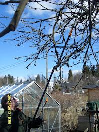 Vanhojen omenapuiden leikkaukset E-mail: Talonmiespalvelu@gmail.com