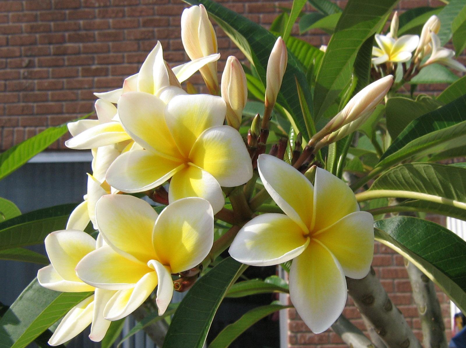 Flower Picture Plumeria Flower