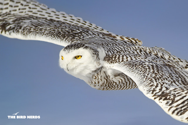 A White Snowy Owl in flight in St. Catharines, Ontario