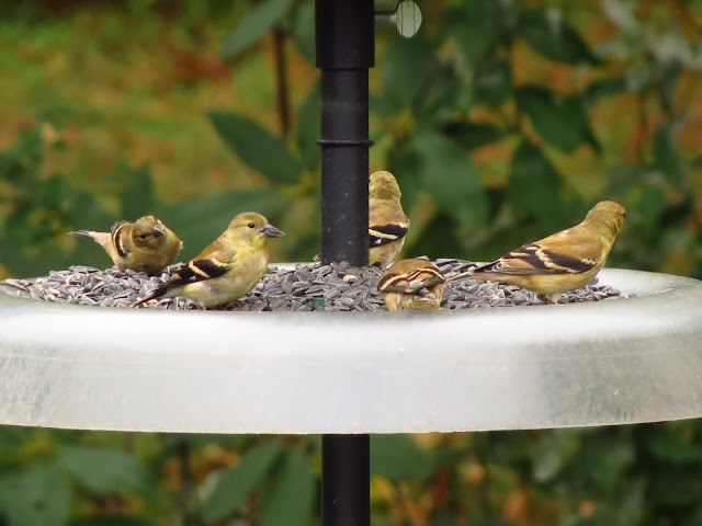 more american goldfinches on feeder tray
