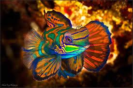 MandarinFish Ikan Paling Eksotis dan Berwarna yang Pernah Ada-6