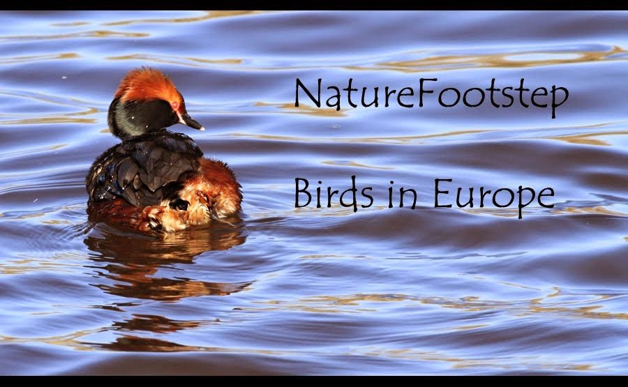NatureFootsteps Birds blog