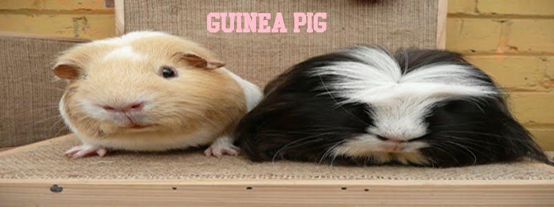 Guinea Pig a.k.a Tikus Belanda
