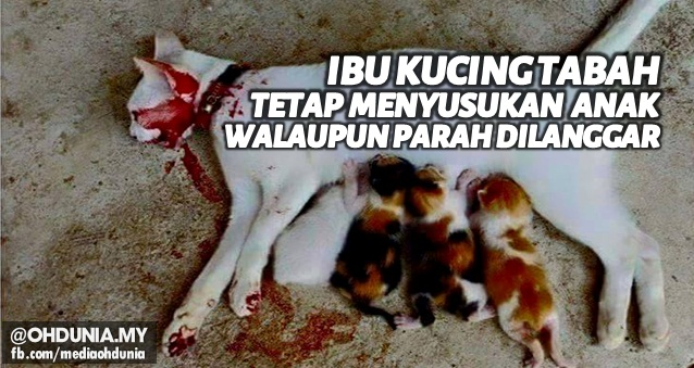 Ibu Kucing Tabah, Tetap menyusukan anak walaupun parah dilanggar