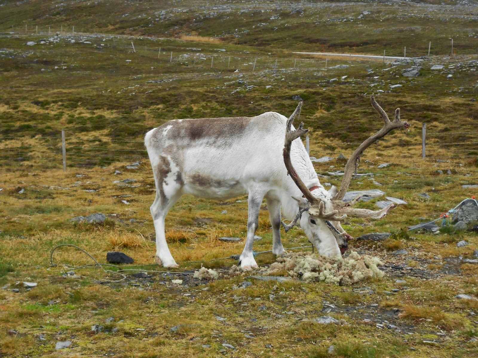 reindeer northern norway