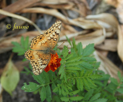 Butterfly: Variegated Fritillary
