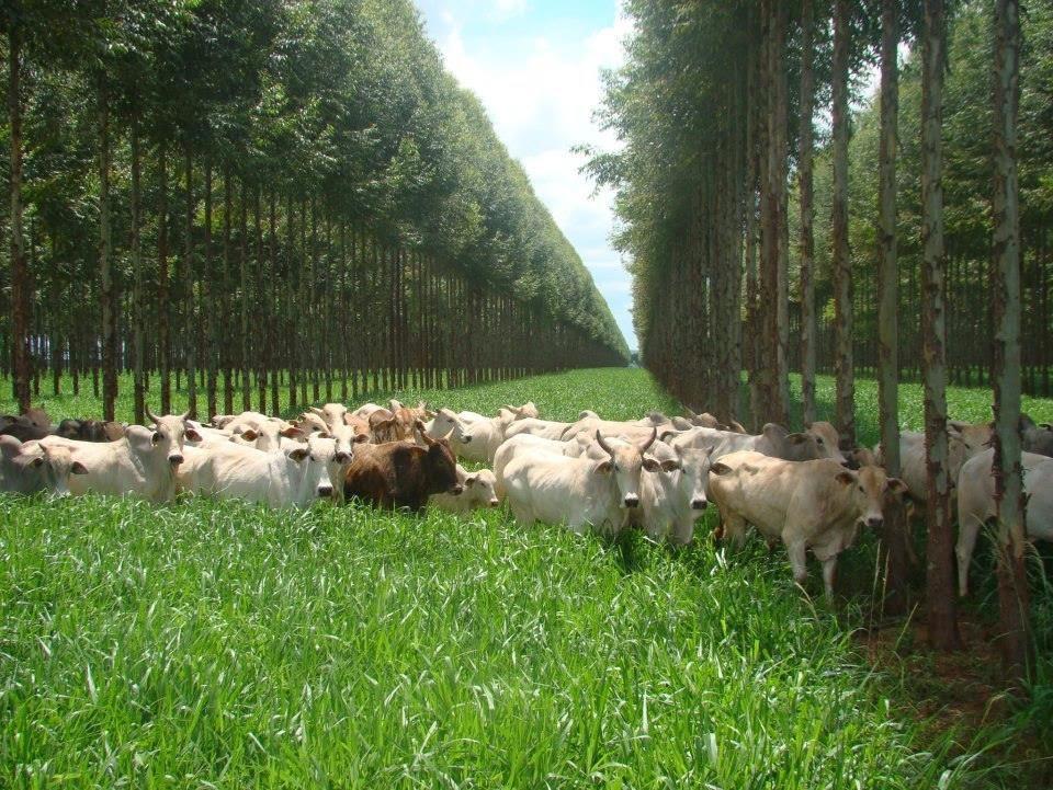 Integração Floresta / Pecuária - Centro do Tocantins