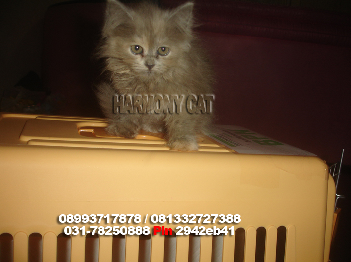 Jasa Pengiriman Kucing Ke Balikpapan Harmony Cat Jasa