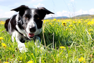 Ruby border collie