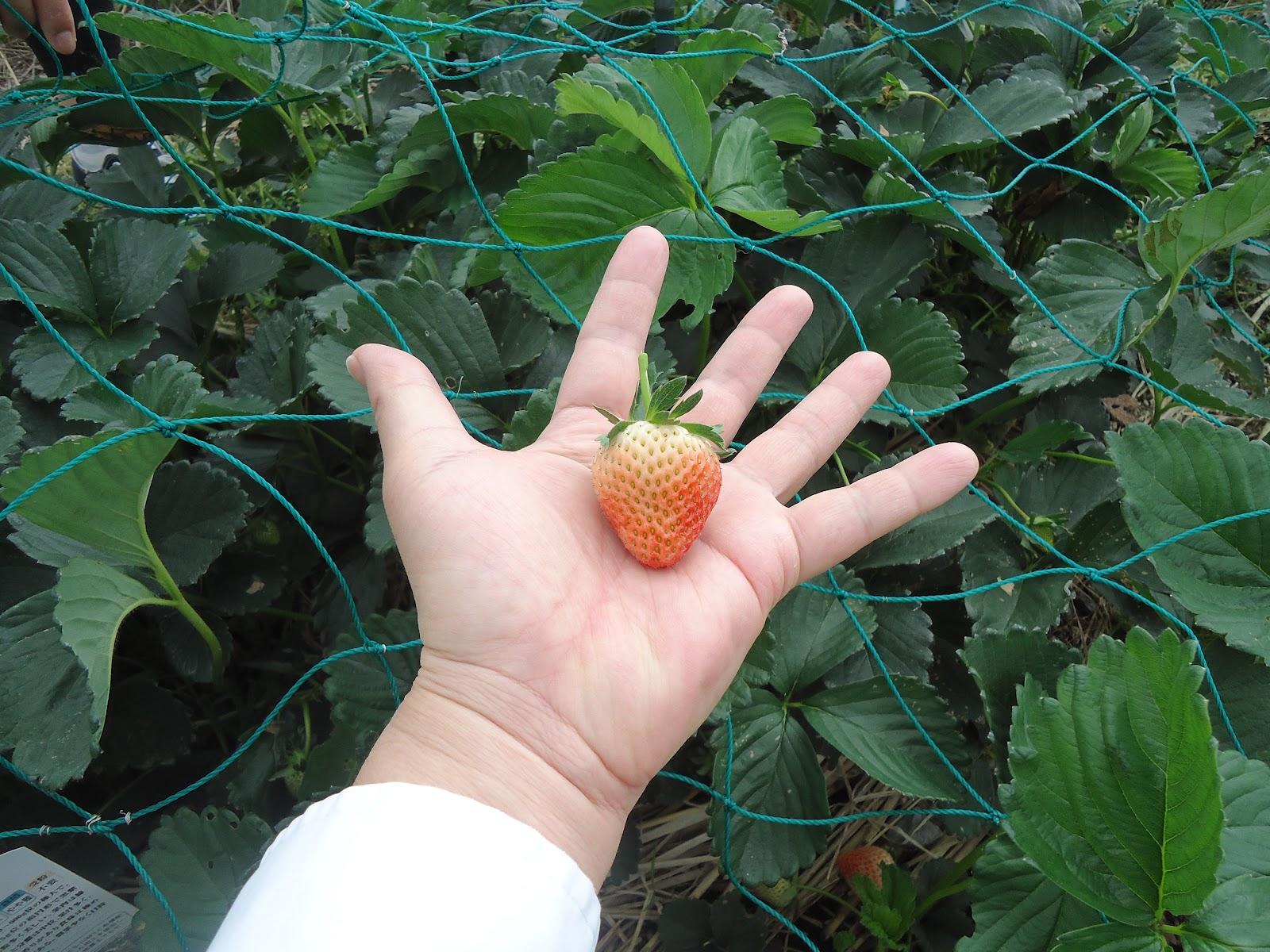 イチゴの画像 p1_36