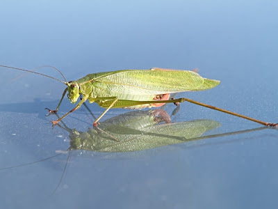 Broad-winged Bush Katydid