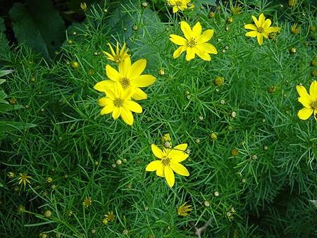 Piante e fiori core pside coreopsis for Piante e fiori