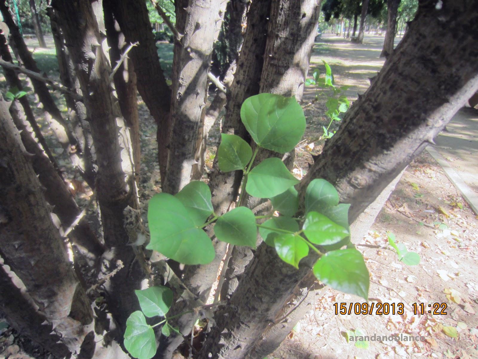 Parquealamillo encinarosa erythrina caffra ceibo con for Vivero el ceibo
