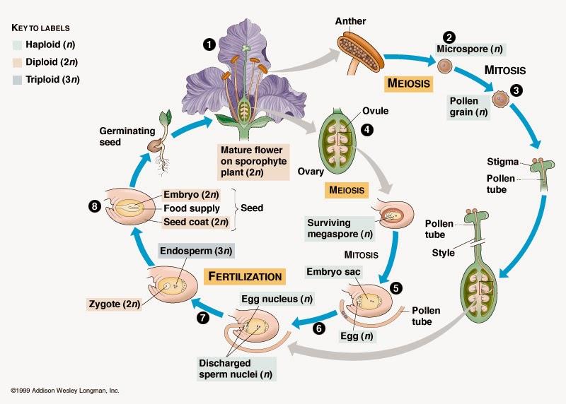 gambar siklus hidup angiospermae
