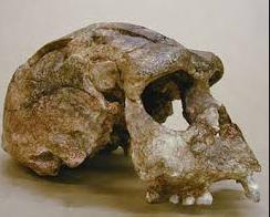 Gambar Homo Soloensis