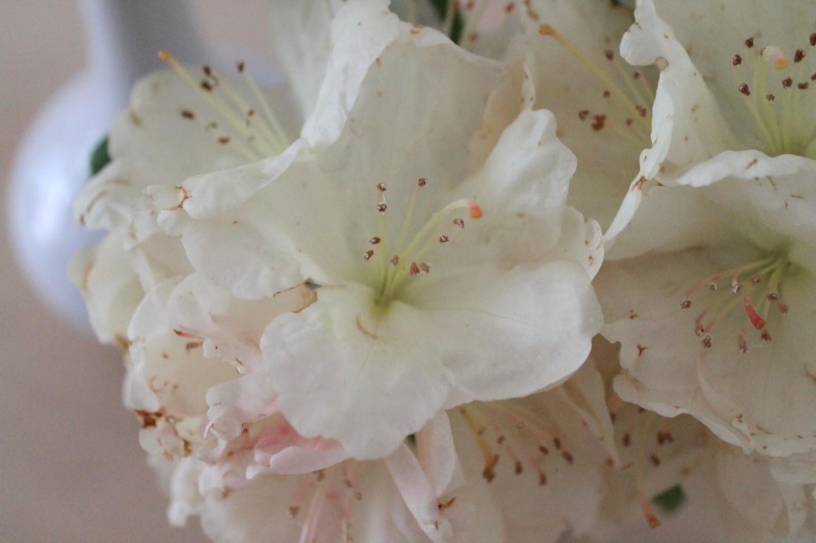 Rhododendron weiß
