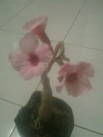 http://tanamanhiaszens.blogspot.com/2012/07/pohon-hias.html