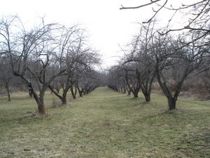 Mccollum orchards taming the kraken or pruning vintage apples - Spring trimming orchard trees healthy ...