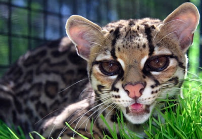[Image: Margay+Cat.jpg]