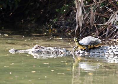 crcodilo e tartaruga
