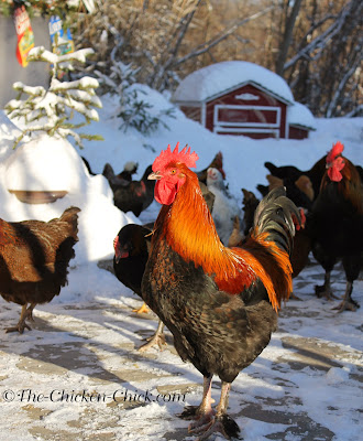 Frostbite in Backyard Chickens: Causes, Treatment & Prevention
