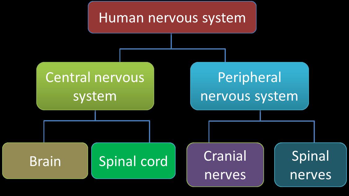 22 Human Nervous System Spm Science