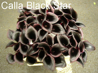 Calla Black Star
