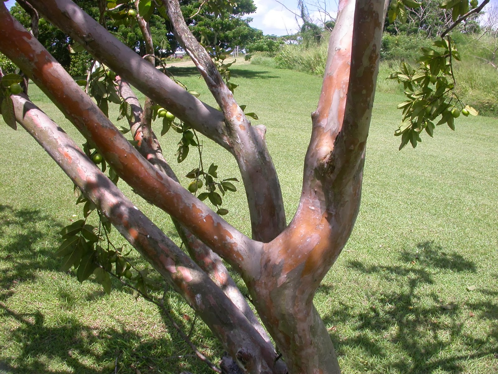 Barbados flora fauna guava trees psidium guajava the bark of the guava tree is smooth and mottled as shown here and the dark green leaves are coarse and rough small white flowers produce fruit anywhere mightylinksfo
